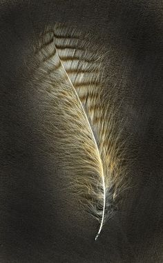 Just loved the image. 'Feathers: The Evolution of a Natural Miracle' by Thor Hanson, a conservation biologist whose new book looks into why feathers matter. Feather Painting, Feather Art, Bird Feathers, Hope Is The Thing With Feathers, Textures Patterns, Science Nature, Decoupage, Birds, Pastel