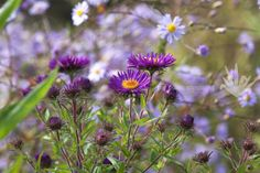 "Why can't I find a richer purple aster like this Aster novae-angliae-""Violetta"" in America??"
