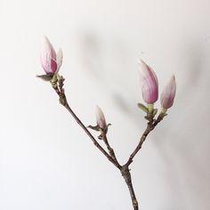 Growing magnolia #spring #flowers #light