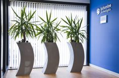 Yukkas in curvy pots in a Reading office reception #bafco #bafcointeriors Visit www.bafco.com for more interior inspirations.