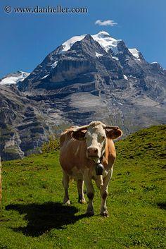 Swiss cow in the mountain fields, Murren, Bern, Switzerland | Dan Heller