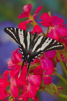 Zebra Swallowtail Butterfly photographed by:  Darrell Gulin