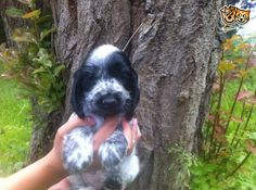 Gorgeous Blue Roan Cocker Spaniel Puppies | Stoke On Trent, Staffordshire | Pets4Homes