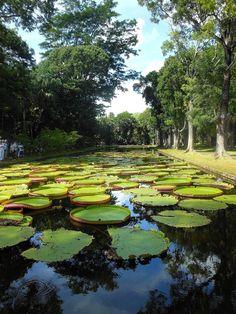 Ninfee a Pampelmousses, una #twitpic dalle Mauritius di Bigoz #buongiorno!