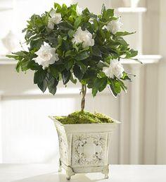 gardenia, such a lovely fragrance!
