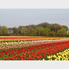 Rows of 60k tulips in full bloom today in Holland MI