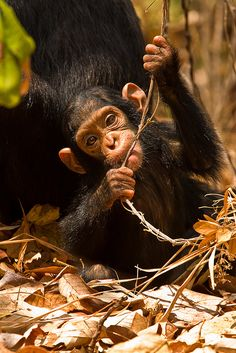 The cutest chimp...This is for your love of monkeys:)!!!!