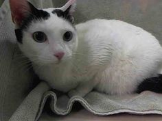 NYC has 20 Cats on Their KILL LIST 2014-05-05 WHITEY.ID # is A0997121.Female white and black domestic sh mix. about 6 YEARS old.OWNER SUR surrender reason stated was PERS PROB.https://www.facebook.com/photo.php?fbid=791412900871591&set=a.617941078218775.1073741869.152876678058553&type=3&theater#!/nycurgentcats/photos/a.785065924844730.1073742293.220724831278845/785066004844722/?type=3&theater