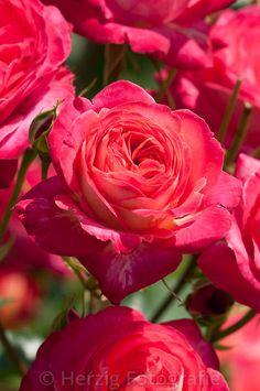 """Rosa """"Midsummer"""" - Rose"""