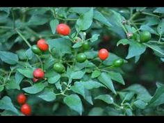 ➯ Pequin Chile - Pepper ITS A BIRD PEPPER!!! CHECK IT OUT!!