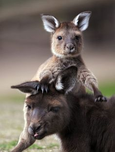 Kanga & Roo. Tanganyka Wildlife Park in Goddard has Kangaroos. You can walk in the enclosure with them and pet them. Some have babies in their pouches.