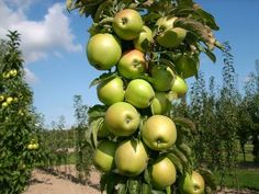 Who needs an acreage for their orchard--plant a Urban Columnar Apple from Greenleaf Nursery.