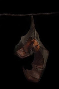 1000+ images about Bat Colony on Pinterest