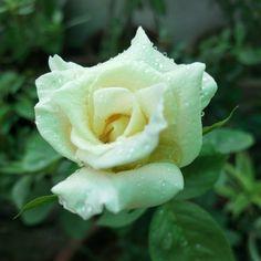 Cream rose !
