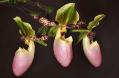 Paphiopedilum glaucophyllum.JPG