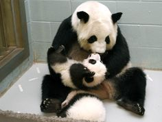 Mother and child Giant panda Lun Lun picks up her panda cub Mei Lun to nurse him as her other cub Mei Huan sleeps at her feet at the Atlanta...