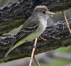 9.  Willow Flycatcher (Empidonax traillii) Photographed during migration on the eastern Colorado Plains.