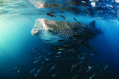 Swiming with Whale Sharks in Mexico