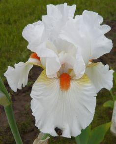~Tall Bearded Iris 'White Hot' early mid, fragrant tall.  bloomed 4-10-16; second clump bloomed 4-15-16 stopped 5-1-16; bloomed 4-11-17