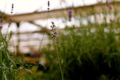 Lavandula angust. 'Munstead' - Dense spikes of fragrant purple flowers from mid to late summer. Aromatic silver grey leaves. Requires full sun and well drained soil. www.thepavilion.ie