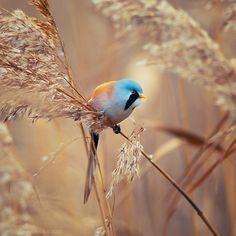 djferreira224:  Bearded tit