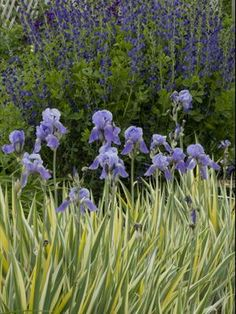 Singing the Blues    Try this soothing blue combination of perennials that share a love for full sun and average to dry soil: Iris p. 'Variegata' and Baptisia australis.