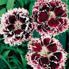 Velvet n Lace Dianthus chinesis China Pink Flower Seeds Dianthus Flowers, Pink Flowers, Small Bouquet, Clay Soil, Spring Blooms, Pink Velvet, Flower Seeds, Carnations, Bonito