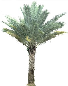 Silver Date Palm is native to India and southern Pakistan.