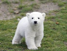 only pregnant polar bears hibernate.  when baby polar bear cubs are born they cannot see or hear for their first month. polar bears are strictly carnivores.