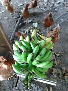 Bananas suculentas.
