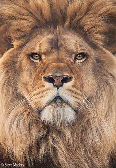 Lion by stevemackayphotography