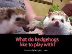"""New hedgie owners often ask, """"What do hedgehogs like to play with?"""" After all, they want their new hedgehog to have fun! Quilly makes several suggestions. Hedgehog Wheel, Hedgehog Bath, Pygmy Hedgehog, Baby Hedgehog, Hedgehog Names, Guinea Pig Toys, Guinea Pig Care, Hedgehog Supplies, Rabbit Feeder"""