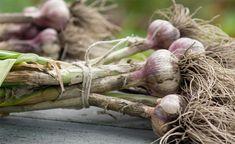 Knoblauch wird wegen seiner Würzkraft und seiner Wirkung als Naturheilmittel geschätzt. So gelingt der Anbau auch im eigenen Garten.