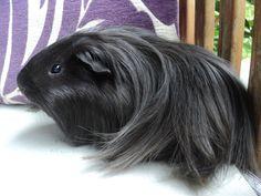 Peruvian Guinea Pig HD Wallpaper | Animals Wallpapers