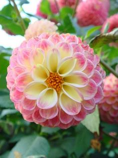 Beauty of Dahlia