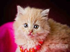 Sweet Muffin is a two month old cream colored #kitten.  She is available at Forsyth County Animal Control in Winston-Salem, NC.  See more info at Project Pearl on Facebook or http://www.co.forsyth.nc.us/animalcontrol/  Please adopt a shelter pet! #adopt #pet