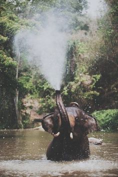 elephant blowing water