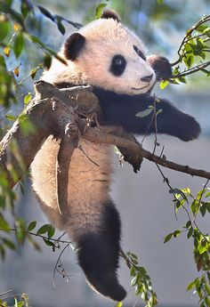 branching out - 6 month old panda bear cub Xiao Liwu hangs out at the San Diego Zoo.