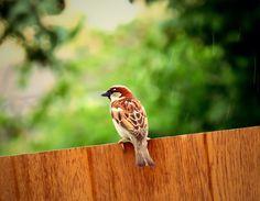 Sparrow in the rain Camera:Canon Powershot SX540HS