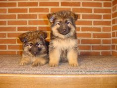 Pups Oud Duitse Herder