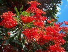 STENOCARPUS sinuatus-Firewheel tree: Australian Native K-Z - N26 ...