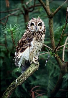 This is a picture of an owl in a pine tree.
