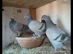 Pigeon biset domestique - YouTube