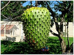 Graviola's are yummy! Weird Fruit, Fruit Love, Funny Fruit, Strange Fruit, Fruit Plants, Fruit Garden, Fruit Trees, Trees To Plant, Exotic Fruit