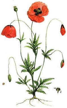 The Vintage Poppy
