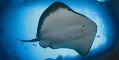 How do stingrays eat? The answer might just surprise you...