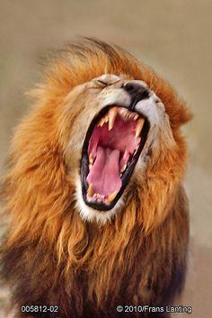 lion yawn- Frans Lanting