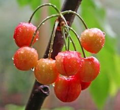 Growing Cherry Trees / Cherry Tree Varieties / Hints and tips