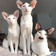 Cat❤️ by hobbikats - Oriental Shorthair Cats Rare Cats, Cats And Kittens, I Love Cats, Cool Cats, Beautiful Cats, Animals Beautiful, Dobby Cat, Oriental Shorthair Cats, Ugly Cat