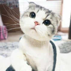 "cute-overload: ""I don't really like cats… But that face http://cute-overload.tumblr.com source: http://imgur.com/r/aww/nOL080G """